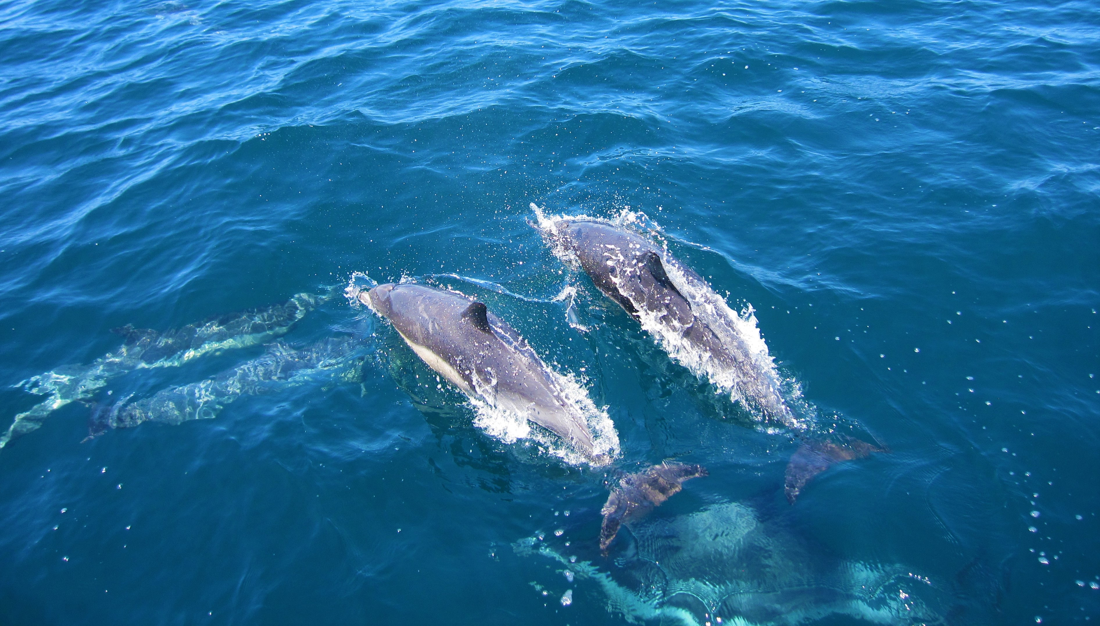 dolphins playing in waters of Fraser Island
